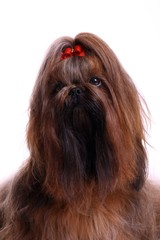 Hund Shih Tzu Portrait