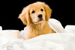 Golden Retriever Puppy with Soft Toilet Paper