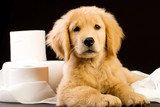 Toilet Tissue Golden Retriever