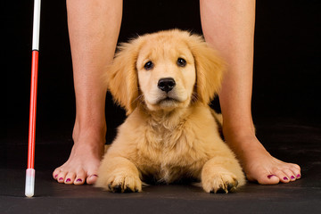 golden retriever puppy learning to help blind people
