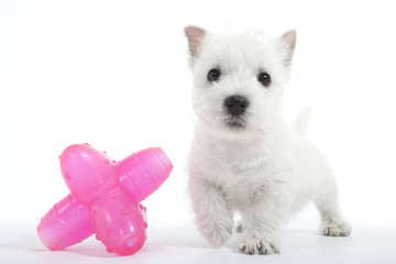chiot west highland white terrier et son jouet rose