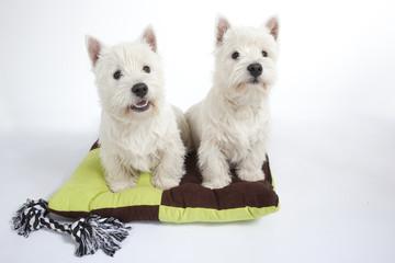 couple de westies sur son tapis