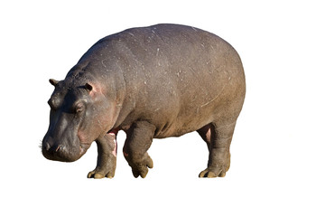 Hippopotamus against a white background; hippopotamus amphibius