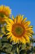 Tournesol au soleil B