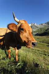 cow in alpine mountain in France in summer