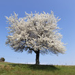 white tree and blue sky in spring