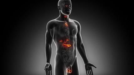 Male endocrine system in loop