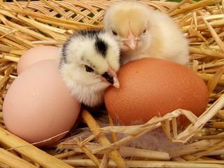 zwei kleine küken im nest mit bio eiern