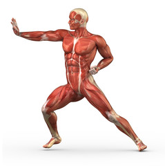Male muscular system in fight pose isolated