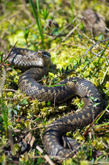 Venomous snake hunt in the swamp in Western Siberia.