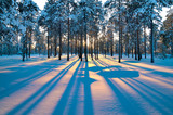 Fototapety Sunset in a winter forest.