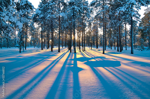 Aluminium Bossen Sunset in a winter forest.