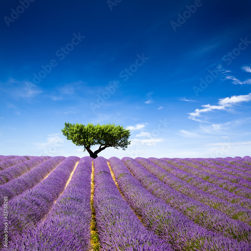 Lavande Provence France / lavender field in Provence, France - 33768265