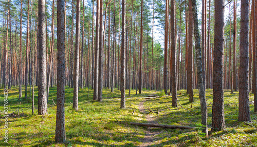 path and coniferous forest