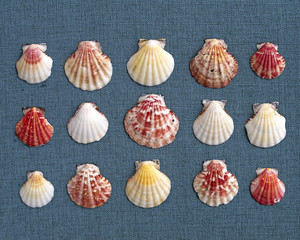 variety of sea Shells on blue fabric