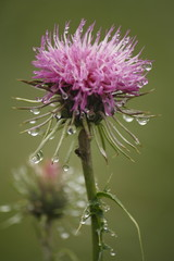 closeup of thistle in morning dew