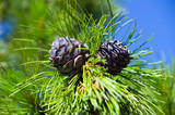 Siberian cedar. Young Siberian pine cones in June.