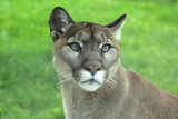 Closeup of cougar or mountain lion in the grass