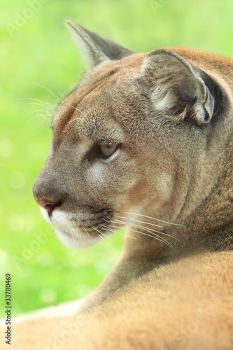 Closeup profile of golden cougar or mountain lion