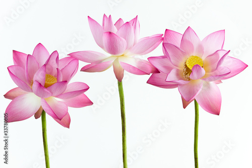 Three pink water lily flower (lotus) and white background.
