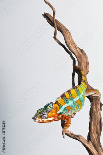 Papiers peints Cameleon chameleon Reptil