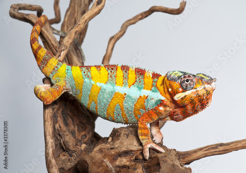 Staande foto Kameleon Chameleon Reptil