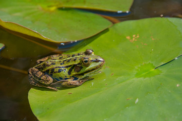 Green frog on leaf of a Waterlily