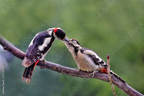 Buntspecht,woodpecker