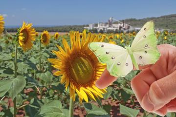 Farfalla in prato di Girasoli