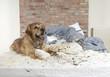 Golden retriever demolishes pilliow