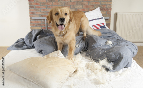 Golden retriever demolishes pilliow