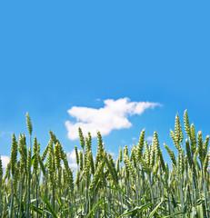 grain field over blue sky