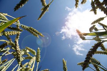 Hintergrund Kornfeld im Sommer