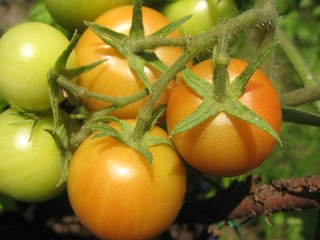 Fresh colorful tomatoes growing