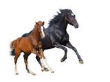 Black mare and sorrel foal gallop - 33802441