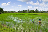 Farmers are weeding in the rice farm