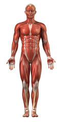 Man muscular sytem anterior view isolated