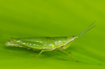 grasshopper in green leaf