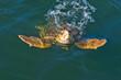caretta caretta turtle - 33817082