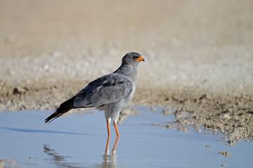 Southern Pale Chanting Goshawk; Melierax canorus
