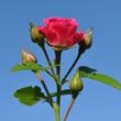 Роза на фоне неба