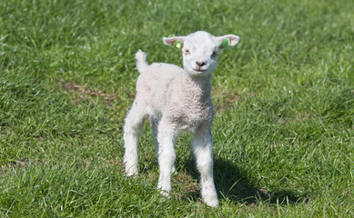 Little lamb in a dutch meadow