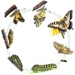 Life cycle of the Swallowtail butterfly