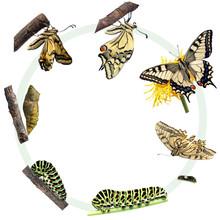 Cykl życia paziowatych