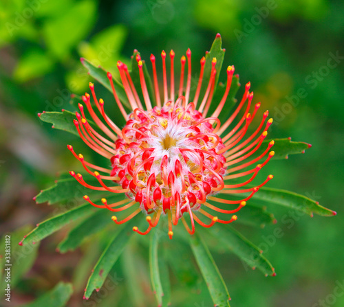 PIncushion protea pink and orange