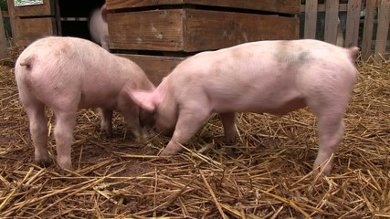 trois petit cochons dans leur maison