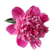 pink peony with dew