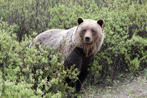 Grizzly. Banff National Park. Kanada