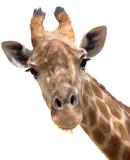 Fototapety Giraffe closeup