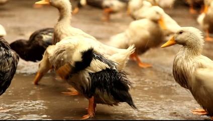 Village ducks washing after rain.